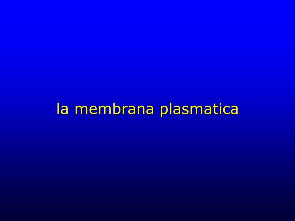 globuli rossi I globuli rossi rappresentano un sistema ideale per lo studio della membrana plasmatica