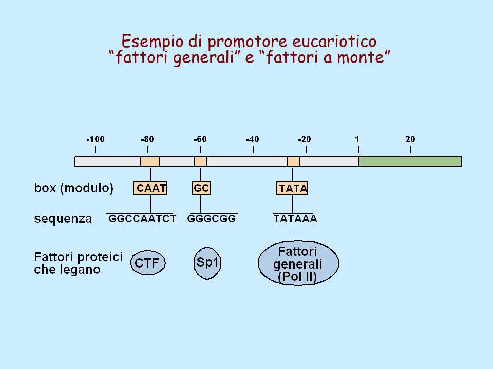 Esempio di promotore eucariotico fattori generali e fattori a monte