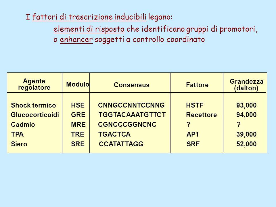 Agente regolatore Modulo ConsensusFattore Grandezza (dalton) Shock termico Glucocorticoidi Cadmio TPA Siero HSE GRE MRE TRE SRE CNNGCCNNTCCNNG TGGTACAAATGTTCT CGNCCCGGNCNC TGACTCA CCATATTAGG HSTF Recettore .