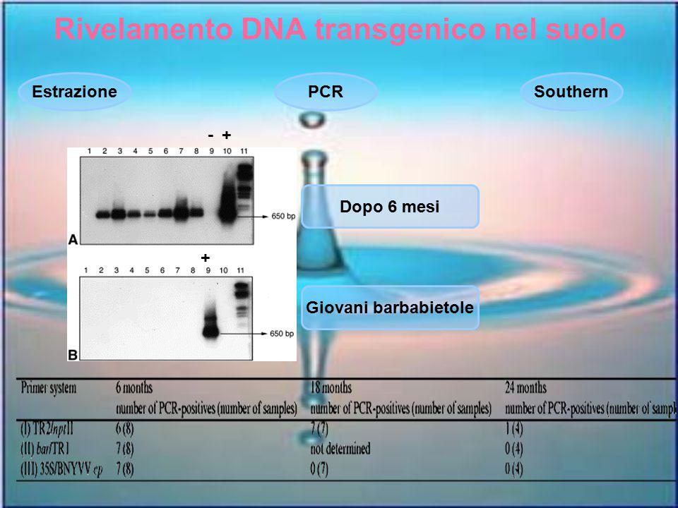 Rivelamento DNA transgenico nel suolo EstrazionePCRSouthern Giovani barbabietole Dopo 6 mesi +- +