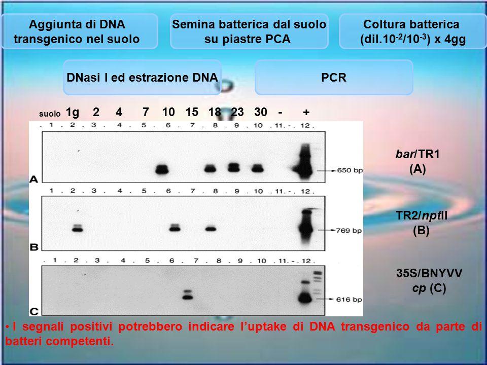 Aggiunta di DNA transgenico nel suolo Semina batterica dal suolo su piastre PCA Coltura batterica (dil.10 -2 /10 -3 ) x 4gg DNasi I ed estrazione DNAP