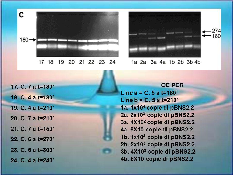 17. C. 7 a t=180' 18. C. 4 a t=180' 19. C. 4 a t=210' 20. C. 7 a t=210' 21. C. 7 a t=150' 22. C. 6 a t=270' 23. C. 6 a t=300' 24. C. 4 a t=240' QC PCR
