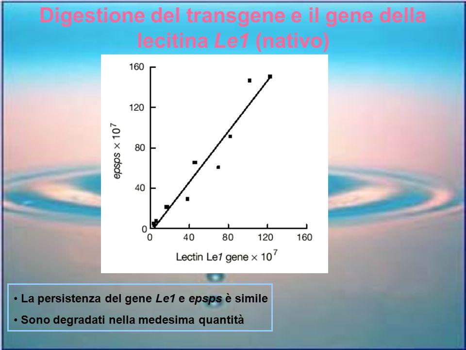 Digestione del transgene e il gene della lecitina Le1 (nativo) La persistenza del gene Le1 e epsps è simile Sono degradati nella medesima quantità