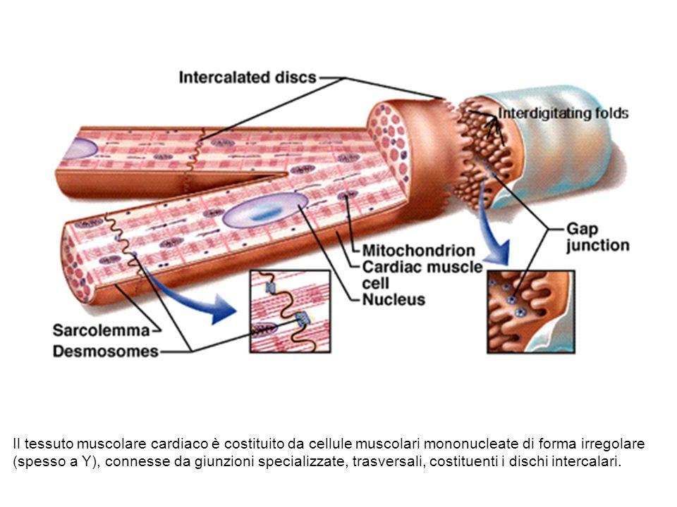 Il tessuto muscolare cardiaco è costituito da cellule muscolari mononucleate di forma irregolare (spesso a Y), connesse da giunzioni specializzate, tr
