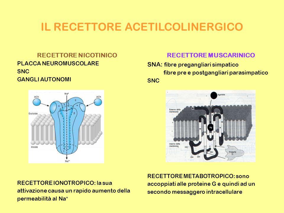 IL RECETTORE ACETILCOLINERGICO RECETTORE NICOTINICO PLACCA NEUROMUSCOLARE SNC GANGLI AUTONOMI RECETTORE IONOTROPICO: la sua attivazione causa un rapido aumento della permeabilità al Na + RECETTORE MUSCARINICO SNA: fibre pregangliari simpatico fibre pre e postgangliari parasimpatico SNC RECETTORE METABOTROPICO: sono accoppiati alle proteine G e quindi ad un secondo messaggero intracellulare