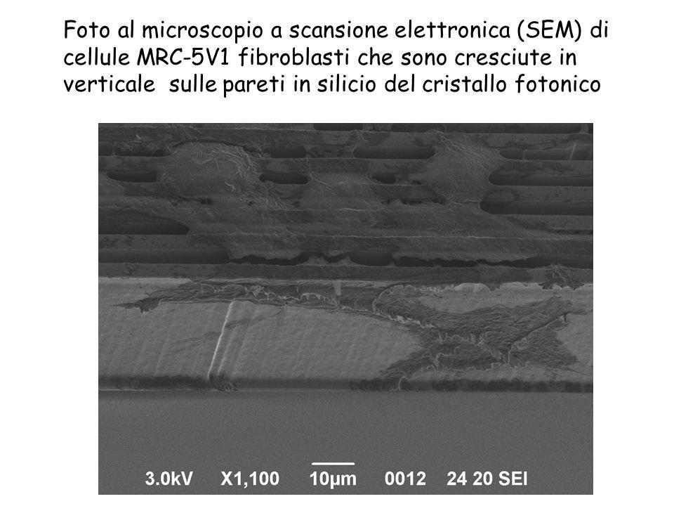 Foto al microscopio a scansione elettronica (SEM) di cellule MRC-5V1 fibroblasti che sono cresciute in verticale sulle pareti in silicio del cristallo fotonico