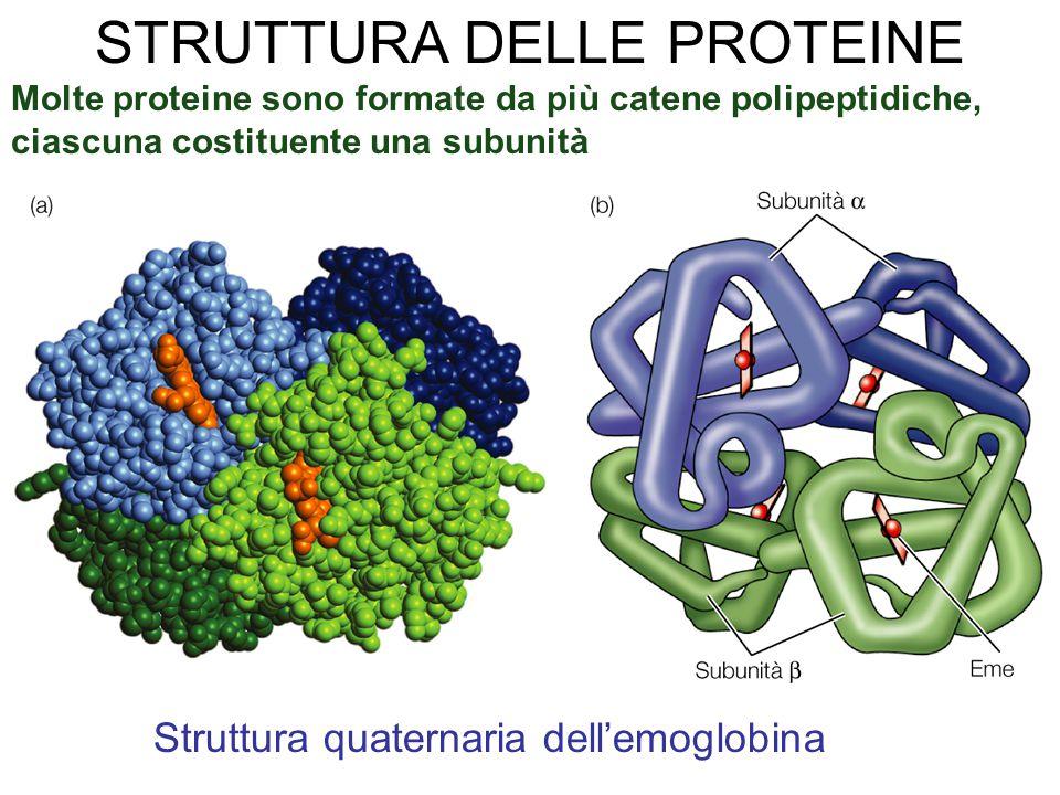 Molte proteine sono formate da più catene polipeptidiche, ciascuna costituente una subunità Struttura quaternaria dell'emoglobina