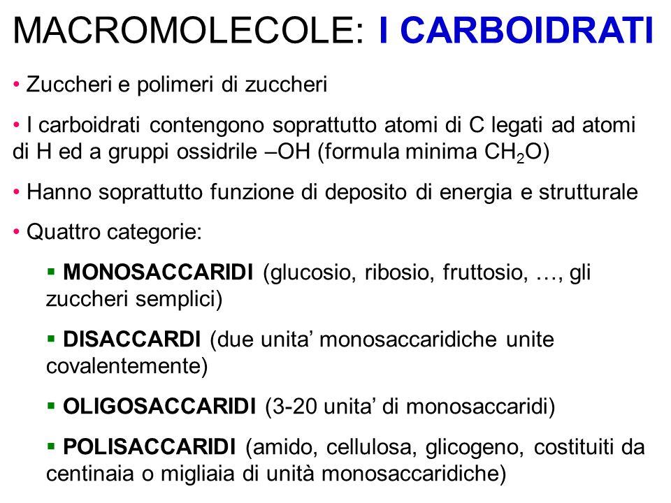 MACROMOLECOLE: I CARBOIDRATI Zuccheri e polimeri di zuccheri I carboidrati contengono soprattutto atomi di C legati ad atomi di H ed a gruppi ossidrile –OH (formula minima CH 2 O) Hanno soprattutto funzione di deposito di energia e strutturale Quattro categorie:  MONOSACCARIDI (glucosio, ribosio, fruttosio, …, gli zuccheri semplici)  DISACCARDI (due unita' monosaccaridiche unite covalentemente)  OLIGOSACCARIDI (3-20 unita' di monosaccaridi)  POLISACCARIDI (amido, cellulosa, glicogeno, costituiti da centinaia o migliaia di unità monosaccaridiche)