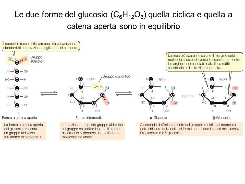 Le due forme del glucosio (C 6 H 12 O 6 ) quella ciclica e quella a catena aperta sono in equilibrio