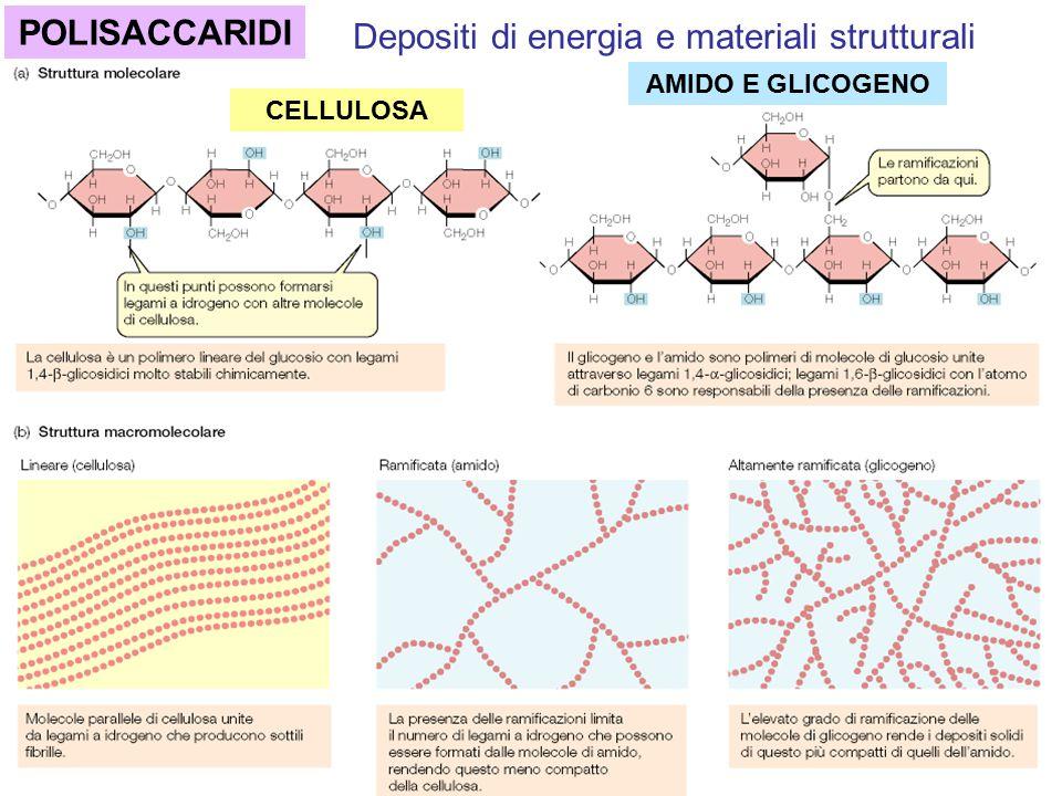 CELLULOSA AMIDO E GLICOGENO POLISACCARIDI Depositi di energia e materiali strutturali