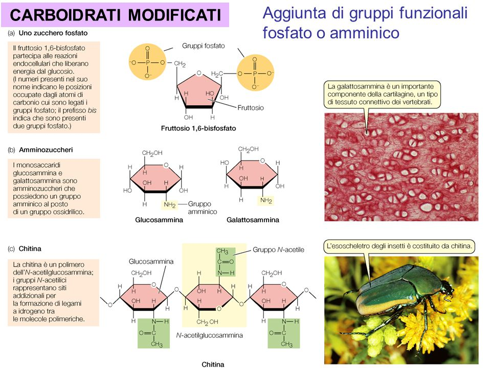CARBOIDRATI MODIFICATI Aggiunta di gruppi funzionali fosfato o amminico