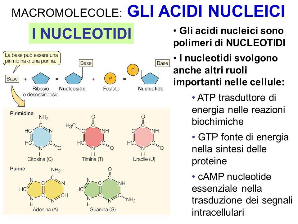 Gli acidi nucleici sono polimeri di NUCLEOTIDI I nucleotidi svolgono anche altri ruoli importanti nelle cellule: ATP trasduttore di energia nelle reazioni biochimiche GTP fonte di energia nella sintesi delle proteine cAMP nucleotide essenziale nella trasduzione dei segnali intracellulari I NUCLEOTIDI