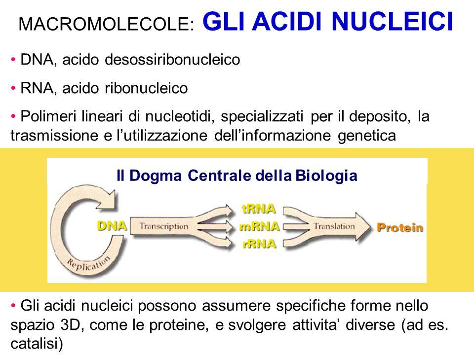 MACROMOLECOLE: GLI ACIDI NUCLEICI DNA, acido desossiribonucleico RNA, acido ribonucleico Polimeri lineari di nucleotidi, specializzati per il deposito, la trasmissione e l'utilizzazione dell'informazione genetica Gli acidi nucleici possono assumere specifiche forme nello spazio 3D, come le proteine, e svolgere attivita' diverse (ad es.