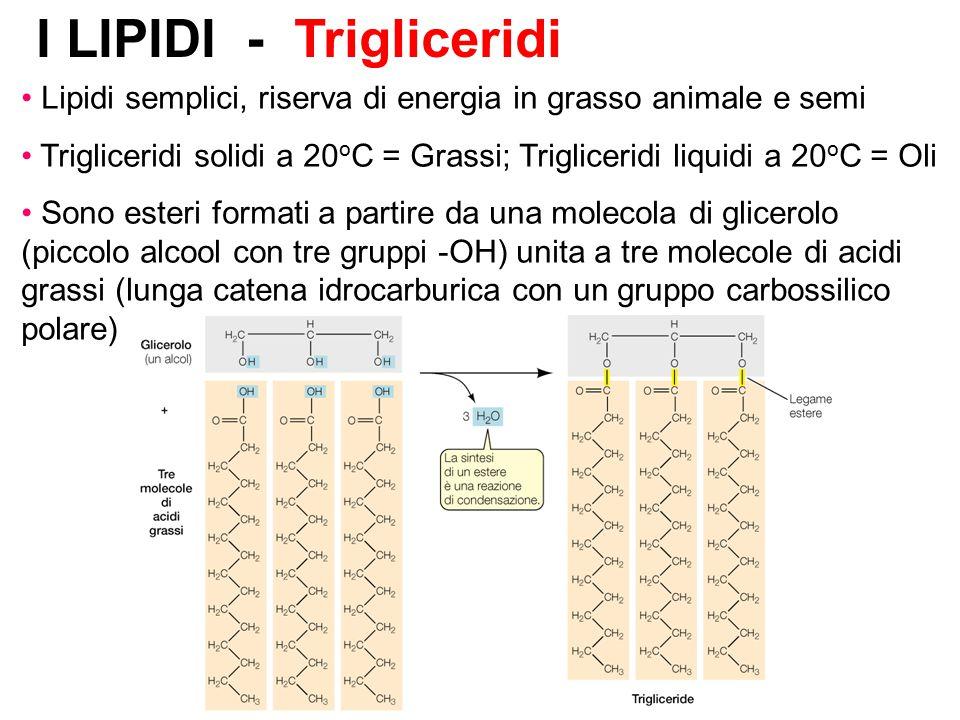 I LIPIDI - Trigliceridi Lipidi semplici, riserva di energia in grasso animale e semi Trigliceridi solidi a 20 o C = Grassi; Trigliceridi liquidi a 20 o C = Oli Sono esteri formati a partire da una molecola di glicerolo (piccolo alcool con tre gruppi -OH) unita a tre molecole di acidi grassi (lunga catena idrocarburica con un gruppo carbossilico polare)