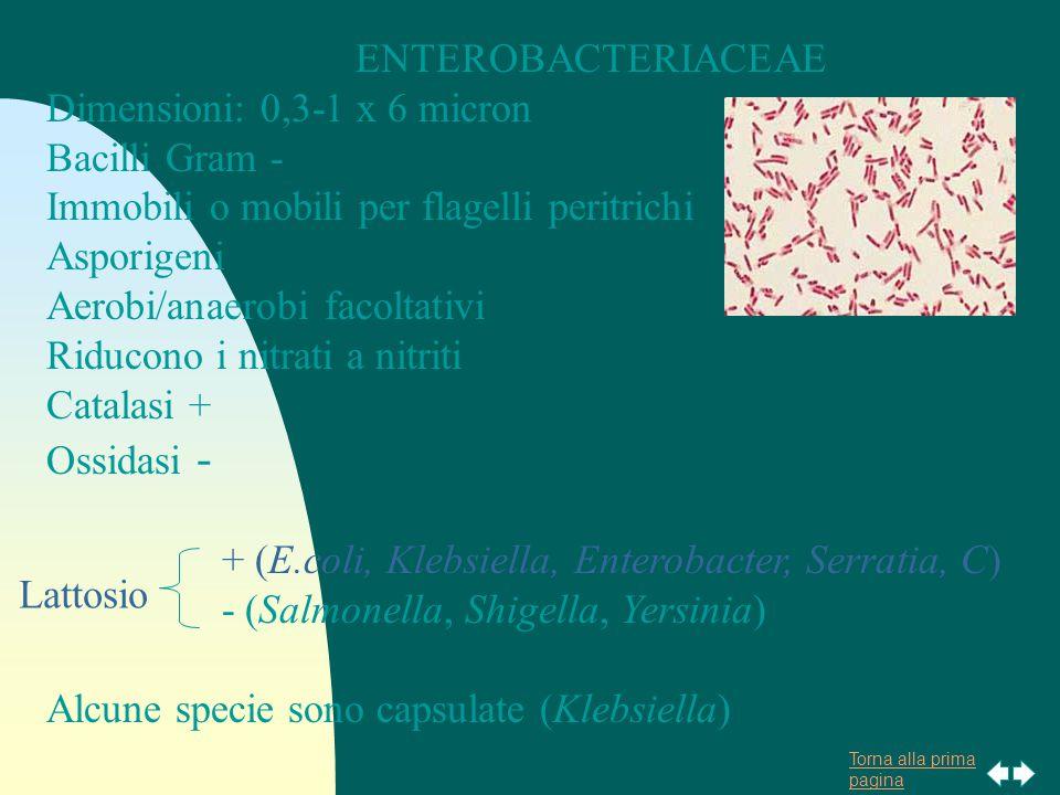 Torna alla prima pagina ENTEROBACTERIACEAE Dimensioni: 0,3-1 x 6 micron Bacilli Gram - Immobili o mobili per flagelli peritrichi Asporigeni Aerobi/anaerobi facoltativi Riducono i nitrati a nitriti Catalasi + Ossidasi - + (E.coli, Klebsiella, Enterobacter, Serratia, C) - (Salmonella, Shigella, Yersinia) Alcune specie sono capsulate (Klebsiella) Lattosio