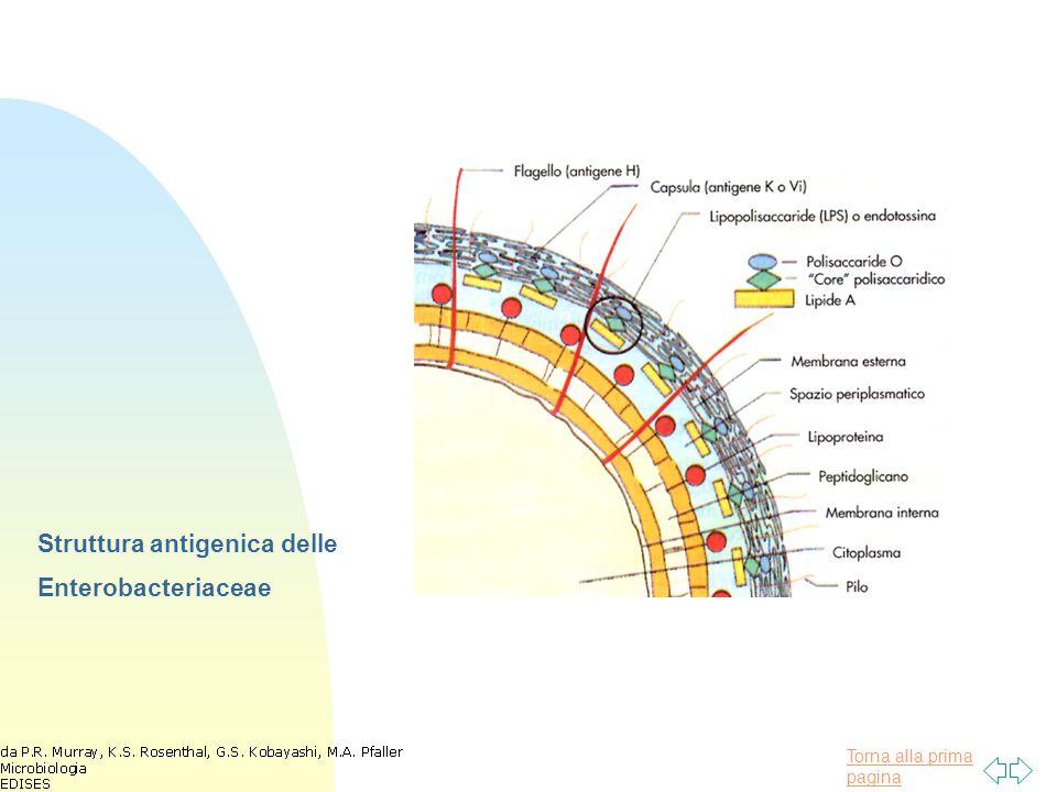Torna alla prima pagina Fattori di virulenza comuni, associati alle Enterobacteriaceae