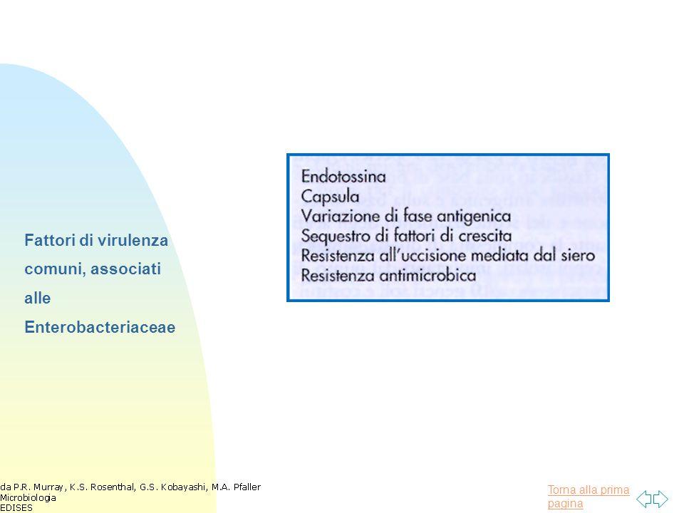 Torna alla prima pagina Siti di infezione da parte dei più comuni membri delle Enterobacteriaceae posti in ordine di prevalenza