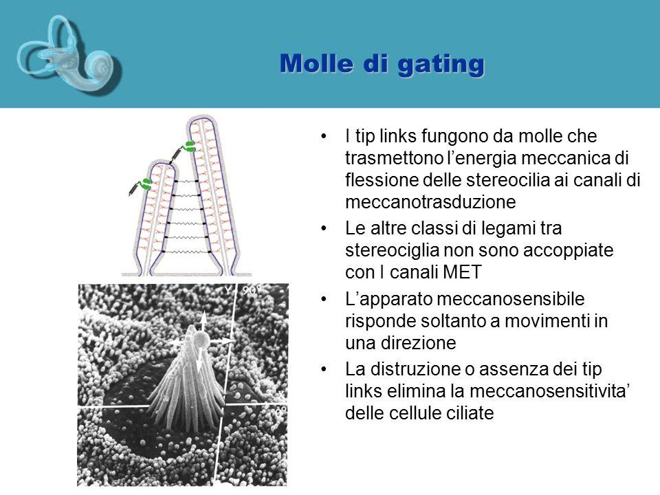 Molle di gating I tip links fungono da molle che trasmettono l'energia meccanica di flessione delle stereocilia ai canali di meccanotrasduzione Le alt