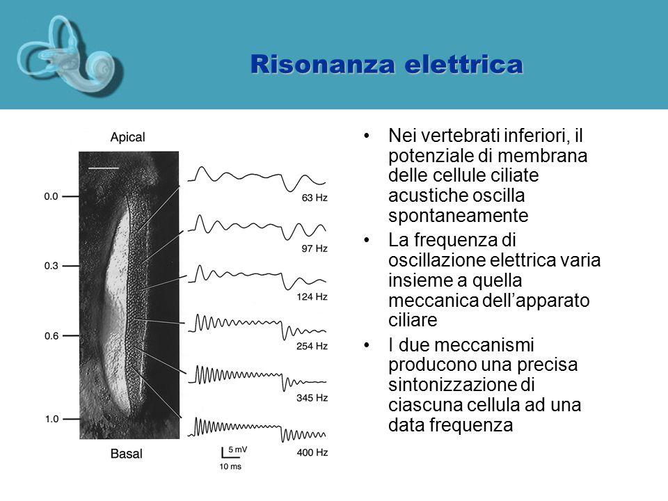 Risonanza elettrica Nei vertebrati inferiori, il potenziale di membrana delle cellule ciliate acustiche oscilla spontaneamente La frequenza di oscilla