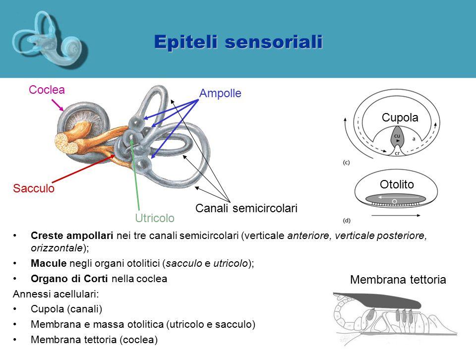 Struttura degli epiteli sensoriali Epitelio monostratificato Cellule ciliate (meccanocettori) Cellule di supporto (producono annessi acellulari, altre funzioni glia-simile) Polo apicale (endolinfatico) Polo basolaterale (perilinfatico)