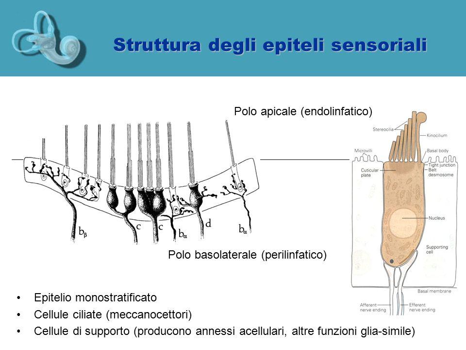 Fluidi labirintini Il labirinto e' bagnato da due fluidi diversi: –Perilinfa (nello spazio perilinfatico, in giallo): alto Na, basso K –Endolinfa (all'interno del labirinto membranoso, in azzurro): alto K, basso Na, bassissimo Ca L'endolinfa viene continuamente prodotta dall'azione delle cellule della stria vascolare (coclea) o dalle dark cells (vestibolo) e riassorbita dal sacco endolinfatico all'interno del cranio timpano Sacco endolinfatico