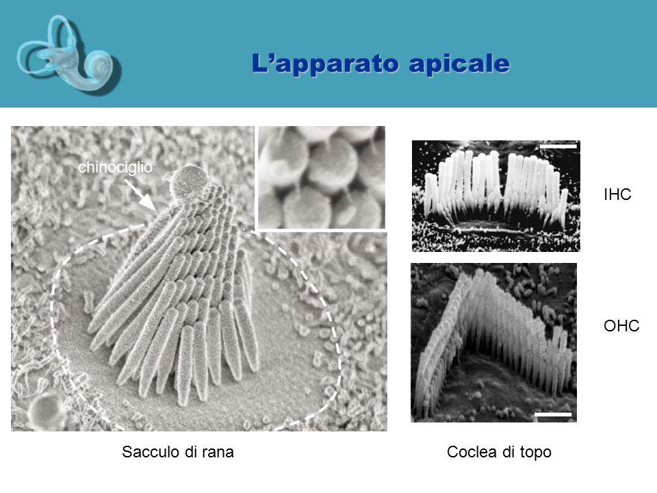 L'apparato apicale Sacculo di ranaCoclea di topo IHC OHC chinociglio
