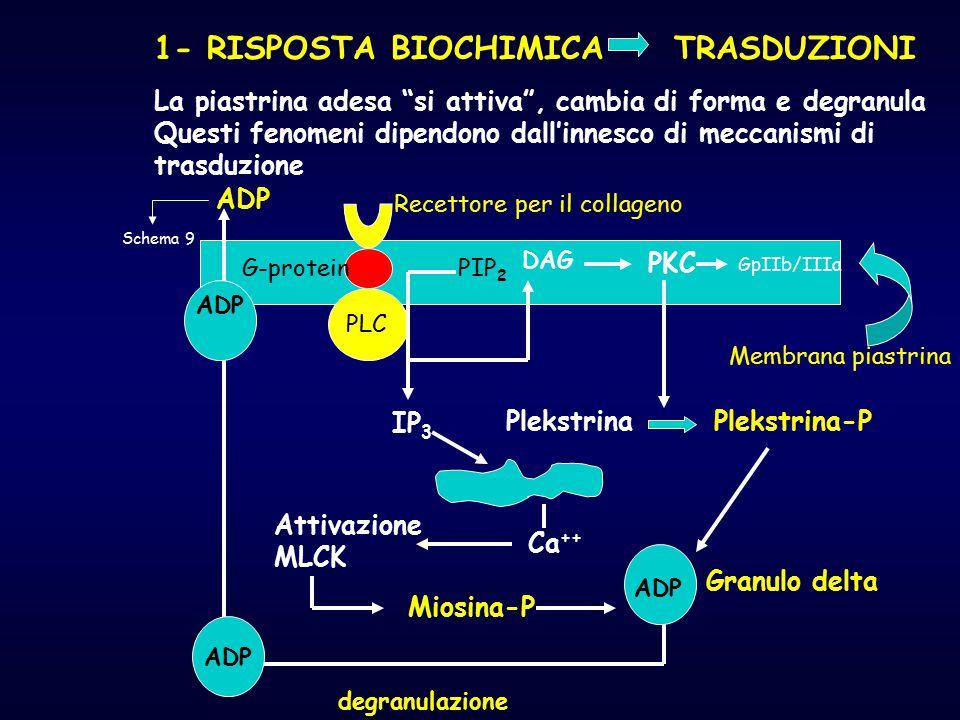 """1- RISPOSTA BIOCHIMICA TRASDUZIONI La piastrina adesa """"si attiva"""", cambia di forma e degranula Questi fenomeni dipendono dall'innesco di meccanismi di"""