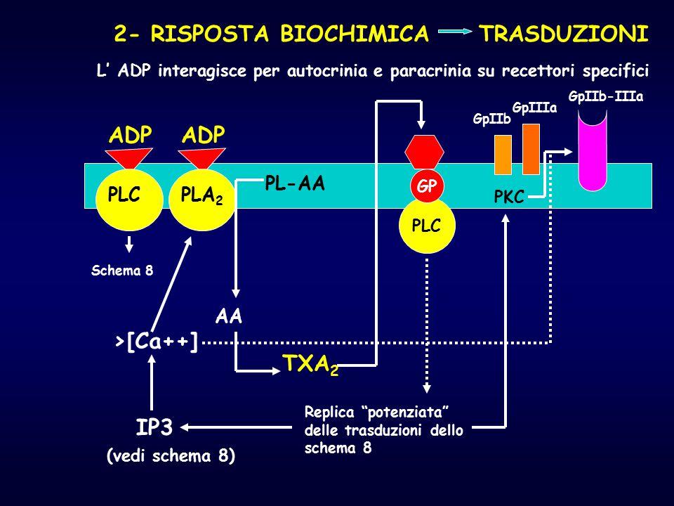 2- RISPOSTA BIOCHIMICA TRASDUZIONI L' ADP interagisce per autocrinia e paracrinia su recettori specifici ADP PLA 2 PL-AA AA TXA 2 >[Ca++] IP3 (vedi sc