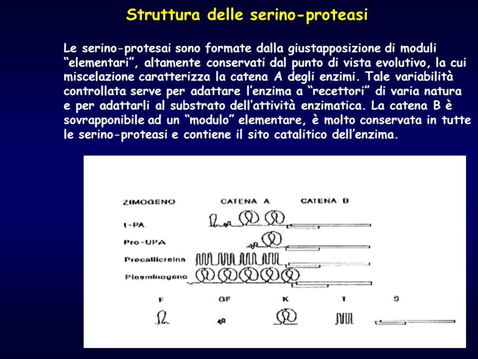 """Struttura delle serino-proteasi Le serino-protesai sono formate dalla giustapposizione di moduli """"elementari"""", altamente conservati dal punto di vista"""