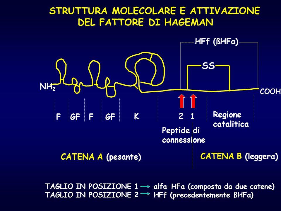 STRUTTURA MOLECOLARE E ATTIVAZIONE DEL FATTORE DI HAGEMAN SS NH 2 COOH FGFF K Peptide di connessione Regione catalitica 12 HFf (ßHFa) TAGLIO IN POSIZI