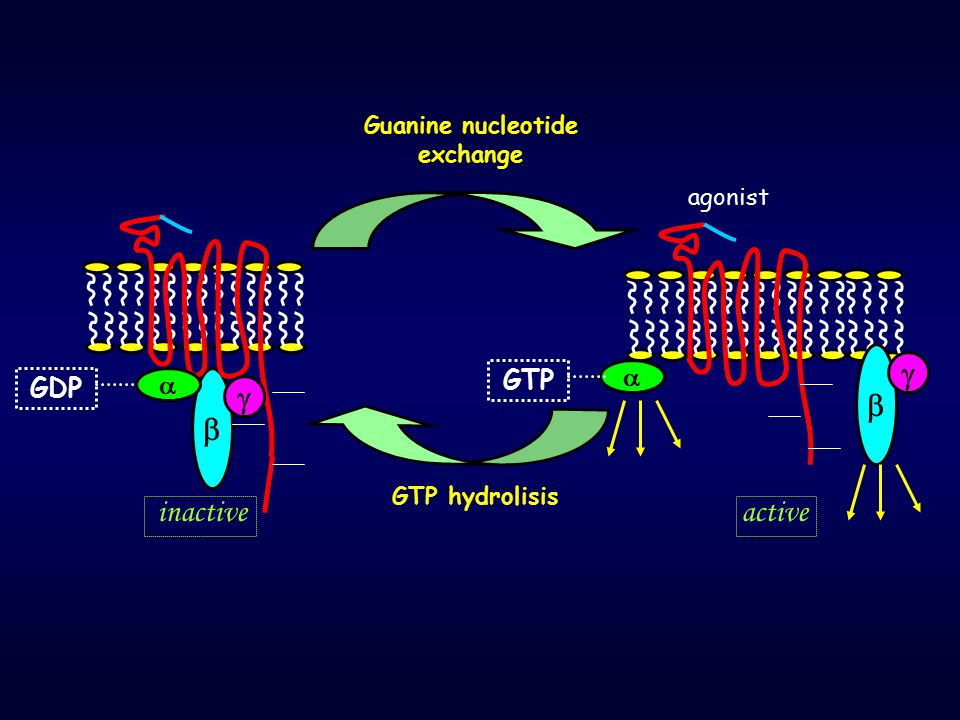    GDP    GTP Guanine nucleotide exchange GTP hydrolisis inactiveactive agonist