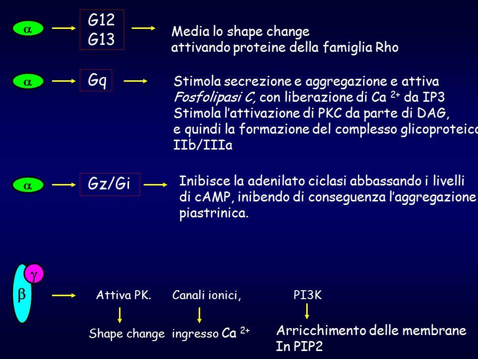  G12 G13 Media lo shape change attivando proteine della famiglia Rho  Gq Stimola secrezione e aggregazione e attiva Fosfolipasi C, con liberazione d