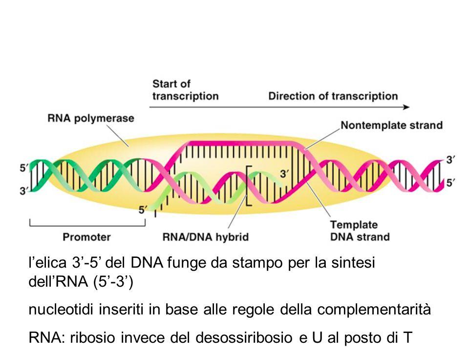 l'elica 3'-5' del DNA funge da stampo per la sintesi dell'RNA (5'-3') nucleotidi inseriti in base alle regole della complementarità RNA: ribosio invec