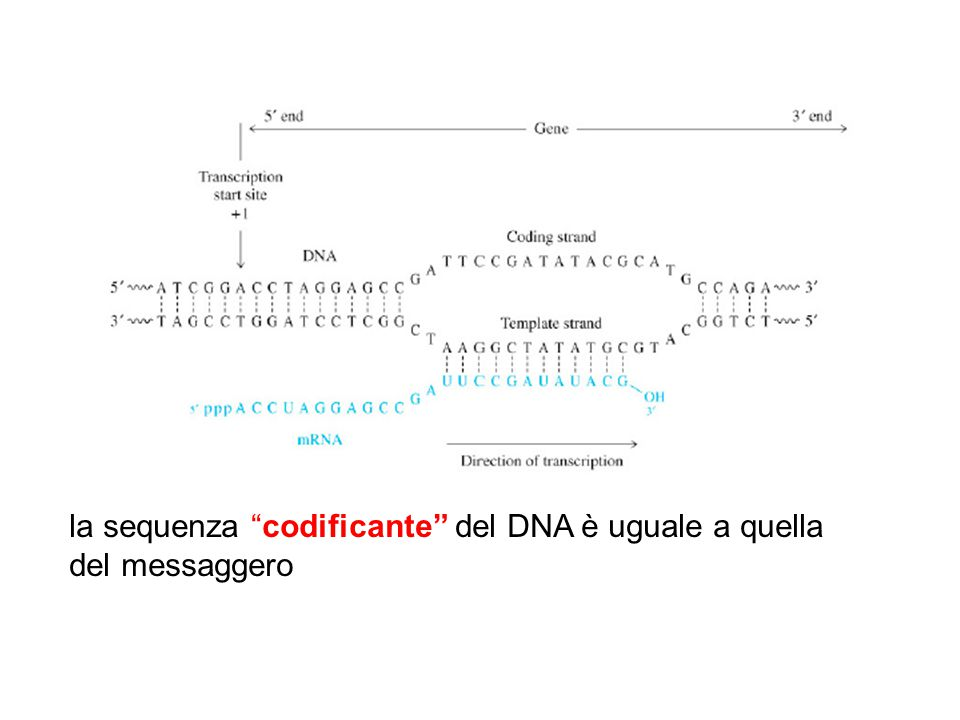 "la sequenza ""codificante"" del DNA è uguale a quella del messaggero"