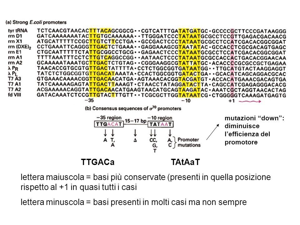 TTGACaTAtAaT lettera maiuscola = basi più conservate (presenti in quella posizione rispetto al +1 in quasi tutti i casi lettera minuscola = basi prese