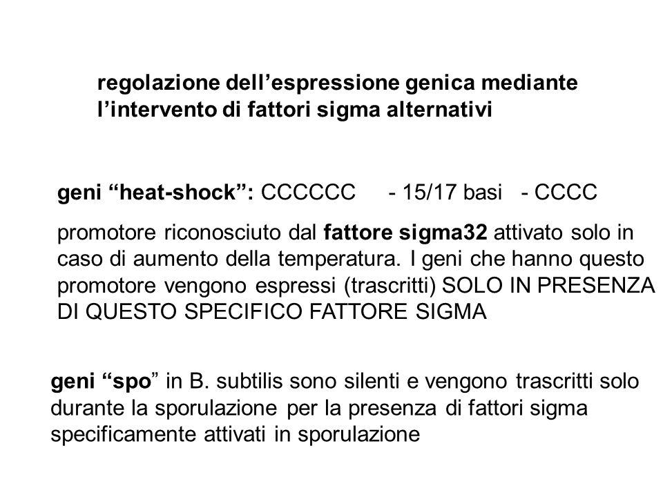 """regolazione dell'espressione genica mediante l'intervento di fattori sigma alternativi geni """"heat-shock"""": CCCCCC- 15/17 basi- CCCC promotore riconosci"""