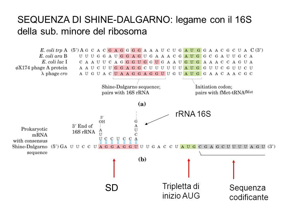 SEQUENZA DI SHINE-DALGARNO: legame con il 16S della sub. minore del ribosoma SD Tripletta di inizio AUG Sequenza codificante rRNA 16S