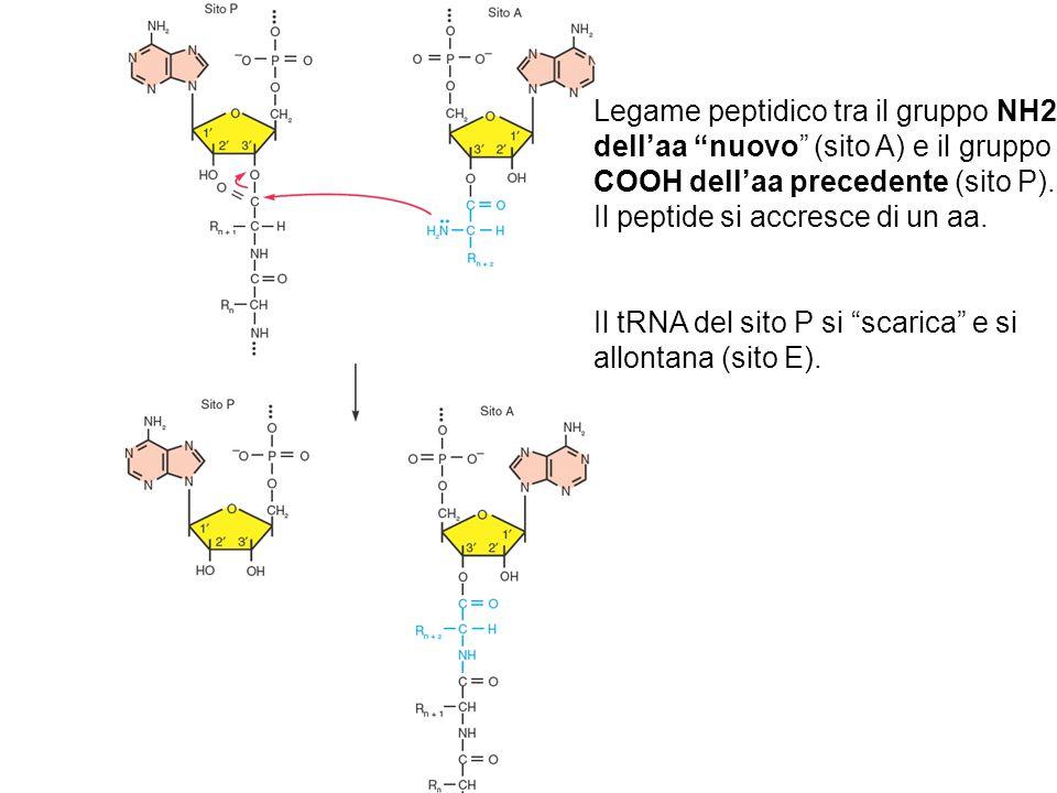 """Legame peptidico tra il gruppo NH2 dell'aa """"nuovo"""" (sito A) e il gruppo COOH dell'aa precedente (sito P). Il peptide si accresce di un aa. Il tRNA del"""