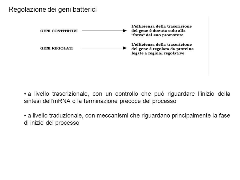 Regolazione dei geni batterici a livello trascrizionale, con un controllo che può riguardare l'inizio della sintesi dell'mRNA o la terminazione precoc