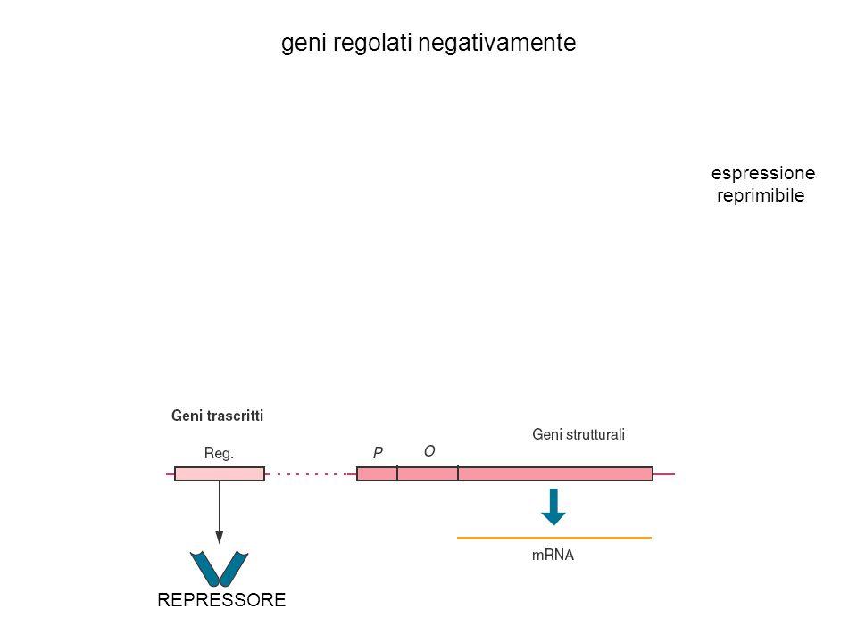 geni regolati negativamente REPRESSORE espressione reprimibile