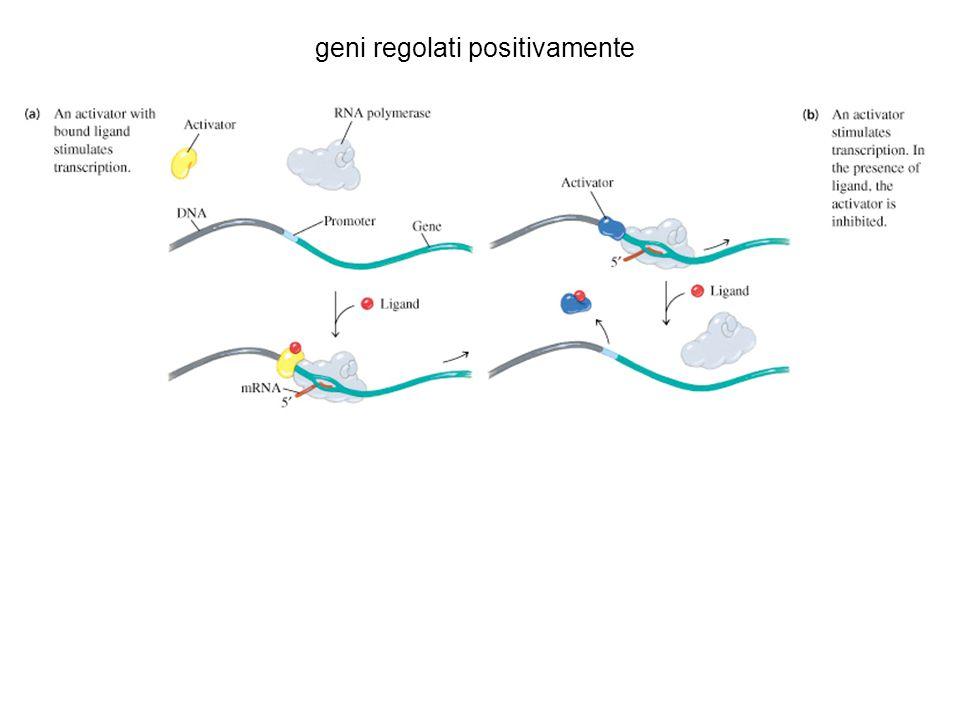 geni regolati positivamente
