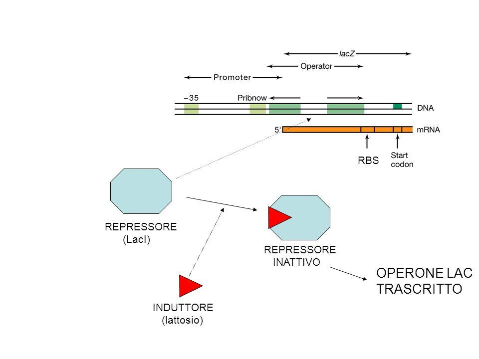 RBS REPRESSORE (LacI) REPRESSORE INATTIVO INDUTTORE (lattosio) OPERONE LAC TRASCRITTO