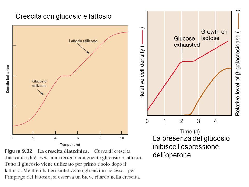 Crescita con glucosio e lattosio La presenza del glucosio inibisce l'espressione dell'operone