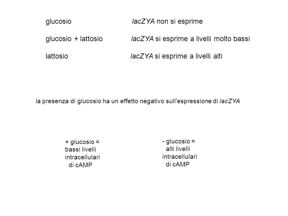glucosio lacZYA non si esprime glucosio + lattosio lacZYA si esprime a livelli molto bassi lattosio lacZYA si esprime a livelli alti + glucosio = bass