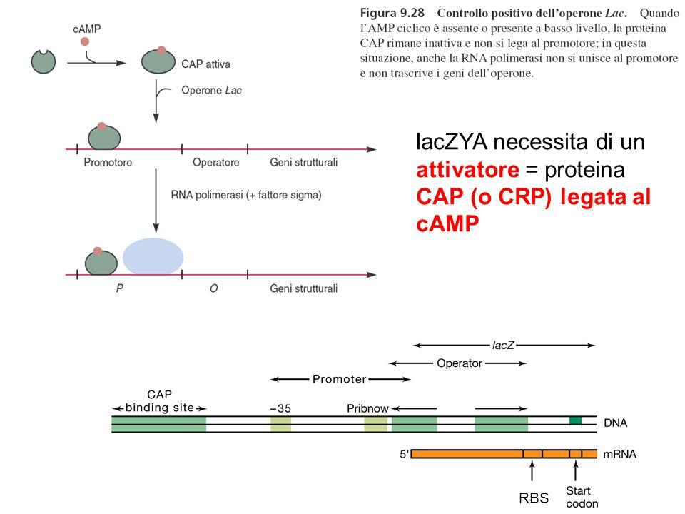 RBS lacZYA necessita di un attivatore = proteina CAP (o CRP) legata al cAMP