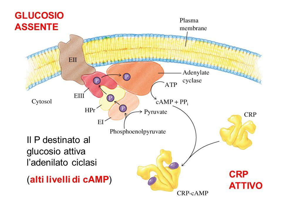 GLUCOSIO ASSENTE Il P destinato al glucosio attiva l'adenilato ciclasi (alti livelli di cAMP) CRP ATTIVO