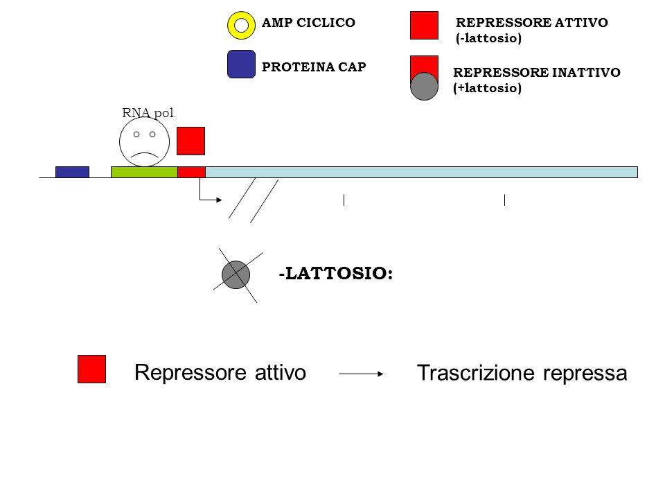 REPRESSORE INATTIVO (+lattosio) PROTEINA CAP REPRESSORE ATTIVO (-lattosio) AMP CICLICO RNA pol. -LATTOSIO: Repressore attivo Trascrizione repressa
