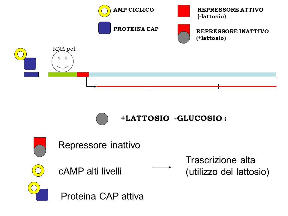 REPRESSORE INATTIVO (+lattosio) PROTEINA CAP REPRESSORE ATTIVO (-lattosio) AMP CICLICO RNA pol. +LATTOSIO -GLUCOSIO : Repressore inattivo Proteina CAP