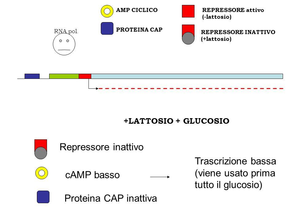 REPRESSORE INATTIVO (+lattosio) PROTEINA CAP REPRESSORE attivo (-lattosio) AMP CICLICO RNA pol. +LATTOSIO + GLUCOSIO Repressore inattivo Proteina CAP