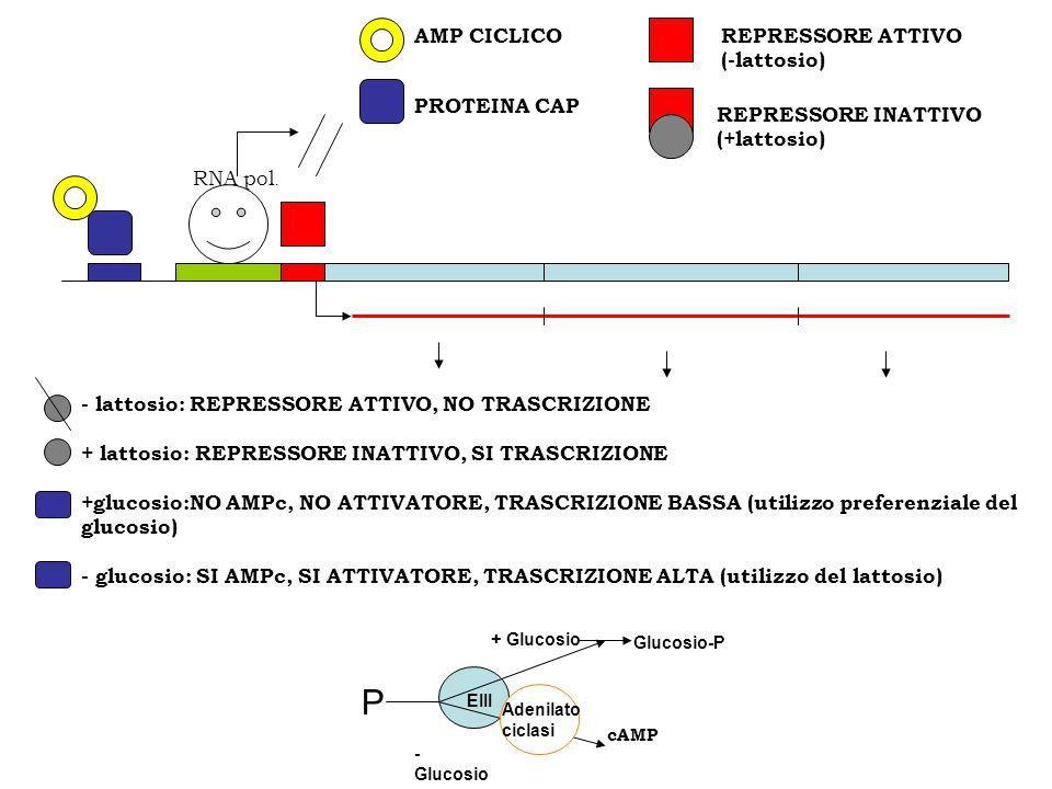 RNA pol. P Glucosio-P cAMP + Glucosio - Glucosio EIII Adenilato ciclasi REPRESSORE INATTIVO (+lattosio) PROTEINA CAP REPRESSORE ATTIVO (-lattosio) AMP